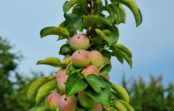 Где искать настоящие колонновидные яблони?