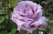 Капризная красавица. Что нужно розе Blue Moon?