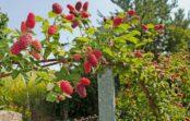 Малиновое дерево: правда или миф?