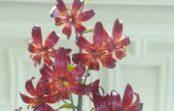 Мартагоны недля букетов. Почему эти цветы привлекают внимание дизайнеров