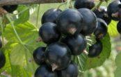 Какие новые сорта чёрной смородины появились на рынке?